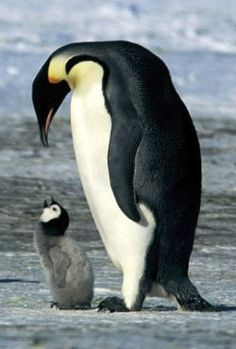 Google Afbeeldingen resultaat voor http://www.onuitstaanbaar.nl/wp-content/uploads/Pinguin.jpg
