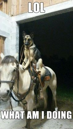 Not sure who is more confused - the German Shepherd or the horse!