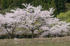 10 feet photogallery » 桜の頃