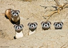 """Once believed to be extinct, black-footed ferrets are slowly recovering with the help of captive breeding programs. This photo of a mother and her four kits was taken in a """"preconditioning pen"""" at the U.S. Fish and Wildlife Service's National Conservation Center in Colorado where captive bred ferrets learn to survive in their natural habitat before being released into the wild at reintroduction sites. Photo by Mike Lockhart."""
