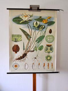 Vintage Poster - Schulkarte/Wandkarte 60er vintage: Teichrose - ein Designerstück von Prof-Knoeterich bei DaWanda
