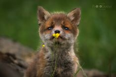 Veggie?! - Wild fox baby, sniffing at (and a moment later even biting into) a buttercup :-))) - it was almost dark yet and I had to increase the ISO and denoise quite much... however isn´t this BEYOND cute?!?!?!? The encounters with these little cuties were THE ultimate local wildlife encounters of my life so far!! Such an incredible experience!!  Thank you ALL soooo much for this outstandingly positive feedback!! Lovely to see how the little one conquered all your hearts - like mine ;-)