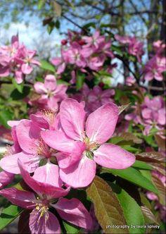 enchanting  tree  pink  fuschia  blooms  dogwood  by paradisereal, $22.00