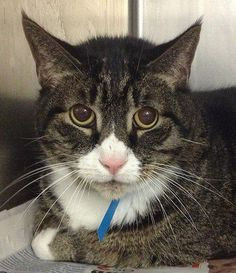 MAX! (A19208951)  Max is a 5-10 year old tabby male, a solid 12 pounds, and adorable round eyes. He was found picked up as a stray, and while he's a little shy at first, he's gaining his confidence more and more. Getting used to all the sights and sounds can take a while even for an amazing cat like Max! Come down and meet Max!  Available at the Pennsylvania SPCA located at 350 E. Erie Avenue Philadelphia, PA 19134. Adoption Center hours are 1-8 Monday through Friday and 10-5 Saturday…