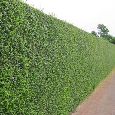 Wild Privet Hedge - Ligustrum vulgare A Wild Privet hedge is fast growing and semi evergreen. The bright green lush leaves provide perfect screening for garden boundaries. In July, creamy white flowers are produced. Wild Privet is quicker grow. Privacy Hedges Fast Growing, Fast Growing Shrubs, Privet Hedge, Evergreen Hedge, Garden Hedges, Garden Screening, Screening Ideas, Low Maintenance Garden, Plants Online