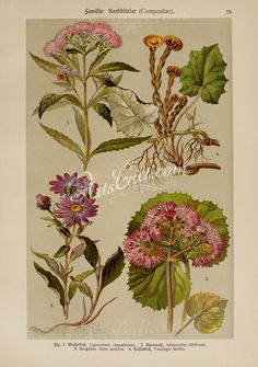 eupatorium cannabinum, adenostyles albifrons, aster amellus, tussilago farfara      ...