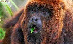 Especialistas afirmam que mortes de macacos por febre amarela é um desastre ambiental