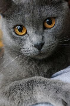 Russian Blue Cats Facts Grey cat with brown eyes - The Chartreux might well be compared to a mime, silent but communicative and sometimes silly. See all Chartreux characteristics below! Cute Cats And Kittens, Cool Cats, Kittens Cutest, Kitty Cats, Bengal Kittens, Tabby Cats, Chartreux Cat, Korat Cat, Nebelung