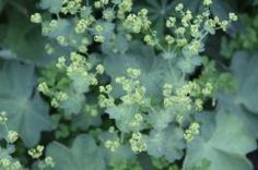 Lady's Mantle : Remodelista#