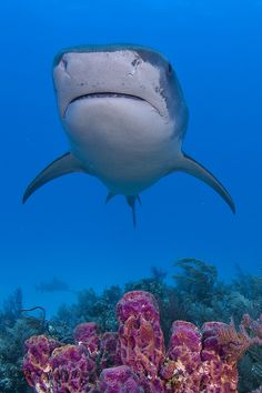 Reef Shark by Todd Aki
