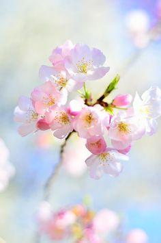 Cherry Blossoms 44302 Nourish Your Soul — Cherry Blossom 2 by simzcom Blossom Trees, Blossom Flower, Cherry Blossom Japan, Cherry Blossoms, Foto Poster, Beautiful Flowers Wallpapers, Spring Blossom, Flower Aesthetic, Flower Wallpaper