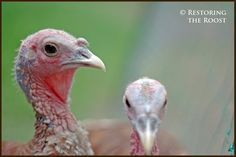use aluminum foil under the feed and marbles in the water dish to teach the turkeys