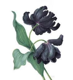 'Black Parrot Tulip' by Christine Stephenson, an award-winning botanical artist who paints minutely detailed 'portraits' of plants in watercolour