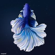 Indigo betta fish on a midnight blue background | premium image by rawpixel.com / Te Dark Backgrounds, Wallpaper Backgrounds, Aggressive Animals, Fish Drawings, Animals Of The World, Free Illustrations, Betta Fish, Tropical Fish, Aerial View