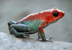 Dendrobates World dendrobates granuliferus, poison dart frog