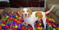 Best Dog Birthday Surprise: DIY Ball Pit for Maymo Maymo must have thought he was in doggy heaven when he seen all these rainbow-colored balls come pouring out of that box. Gifs, I Love Dogs, Cute Dogs, Lemon Beagle, Dog Birthday, Birthday Video, Ball Birthday, Surprise Birthday, 21st Birthday