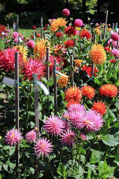 Dahlias Garden Arbor, Garden Beds, Garden Paths, Colorful Flowers, Beautiful Flowers, Arbors Trellis, Natural Wonders, Garden Inspiration, Mother Nature