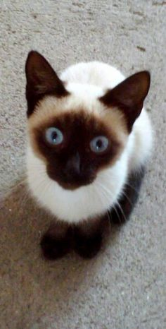 Siamese cat like my cat Wally