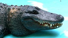 This is Muja the oldest living Alligator on record. He lives at the Belgrade Zoo. http://ift.tt/2lBkVwf