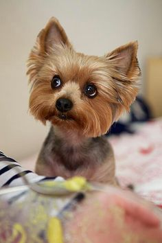 The expression 'goon with a heart of gold' is perhaps the very best description one can provide Yorkshire . Like any other dog type, Yorkies can be faithful, protective and strong yet mild. Yorky Terrier, Yorshire Terrier, Yorkies, Yorkie Puppy, Pet Dogs, Dog Cat, Yorkshire Terrier Puppies, Rottweiler Puppies, Dog Grooming