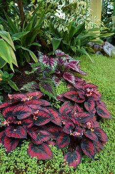 Types of Houseplant Bugs and Methods to Check Their Infestation Begonia Rex 1 Colorful Plants, Unusual Plants, Cool Plants, Shade Garden, Garden Plants, Indoor Plants, Tropical Garden, Tropical Plants, Container Plants