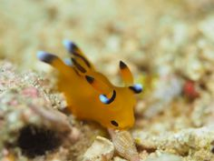 pikachu-nudibranch-thecacera-pacifica