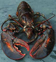 lobsters can be cute ***THIS***