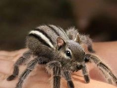 chipmunk spider - this MIGHT make spiders less scary to me! #weird #photoshop #animals tå√