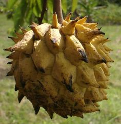 ROLLINIA, Biriba, Custard Apple ~ Biriba is a fast-growing, flood-tolerant, sun-loving tropical tree, with leaves up to 35cm long. It can reach a height of 4–15 m (13–49 ft), which can bear fruit from seed within 3 years