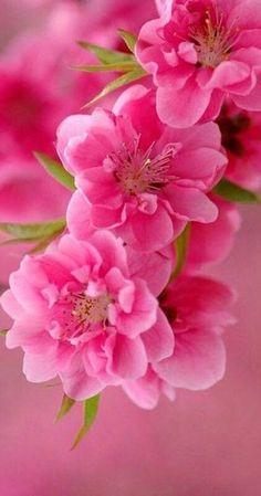 Beautiful Rose Flowers, Amazing Flowers, Pretty Flowers, Pink Flowers, Flower Images, Flower Pictures, Rose Flower Wallpaper, Flower Aesthetic, Belle Photo