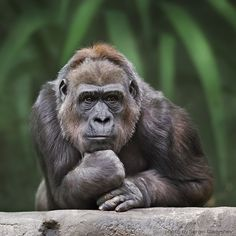 The Thinker: The gorilla, strikes a pensive figure when he was pictured at Moscow Zoo, bearing a close resemblance to sculptor Auguste Rodin's famous work Animals And Pets, Funny Animals, Cute Animals, Beautiful Creatures, Animals Beautiful, Los Primates, Dian Fossey, Photo Animaliere, Tier Fotos