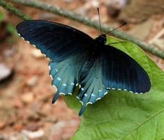 Pipevine Swallowtail Butterfly (found in North America and Central America)
