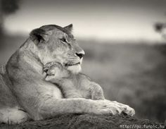Momma and baby lion