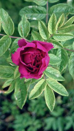 Rosa rugosa   Kurttulehtiruusu   KamalaKala   Flickr