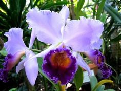 """Dinard """"Blue Heaven"""" is known for it's huge bluish flowers (5-7 inches), making this a must have for all Cattleya collectors. Description from ebay.ca. I searched for this on bing.com/images"""