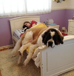 This is not your bed. These adorable pictures of dogs bunking where their masters lie proves that when you're not around, it's a dog's world!