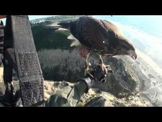 ▶ Parahawking. Fly with a hawk.  This must be a joyful experience!
