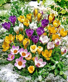 Blooming in early spring, these mixed crocus bulbs produce flowers in shades of yellow, purple, and white. Garden Bulbs, Planting Bulbs, Garden Plants, Planting Flowers, Fall Planting, Spring Bulbs, Spring Blooms, Spring Plants, Bulb Flowers