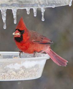 Cardinal at iced feeder