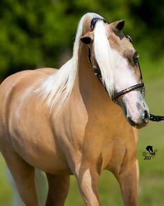 "KJQS Terminators Glowing Inferno ""QUIGLEY""  I love my miniature stallion!!"