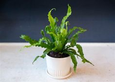 Low-maintenance Bird's Nest Fern in matte white Fluted August planter by The Sill (thesill.com)