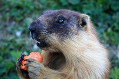 Tarbagan Marmot - Marmota sibirica - (Russia, Mongolia) - Rochers-de-Naye, Switzerland, 2009.JPG
