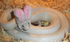 Canadian DevianART user 'NocturneJewel' was visited not by the Easter Bunny, but by something a million times more awesome: the Easter Snake! The pet snake