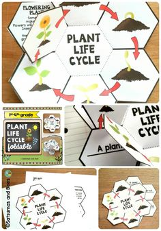 This foldable will help your students identify and remember the stages of a flowering plant life cycle. This resource may be used with grades 1-2 (1st version of the foldable) or with grades 3-4 (2nd version of the foldable). Whole group, small group or individual instruction. This resource is adapted to address different learning styles and was tested with my 4th & 5th graders.