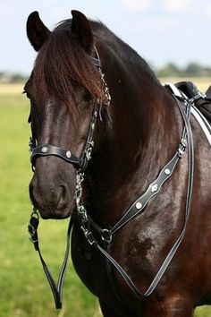 Portuguese bridle and breast collar... This with a black lightly decorated western or parade saddle... Would look gorgeous on her.