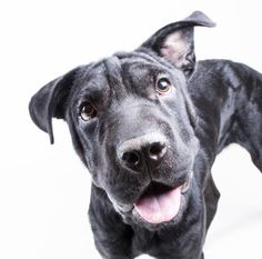 STATUS UNKNOWN - Leisel - URGENT - Dekalb County Animal Shelter in Decatur, Georgia - ADOPT OR FOSTER - 1 year old Spayed Female Chinese Shar-Pei Mix - It is hard not to love Leisel's smooshy face! This incredibly sweet ten month old Shar-Pei/Lab mix wants nothing more that to be near you. She loves people, especially her people! She enjoys playing with toys, eating treats, and may even like hanging out with children.
