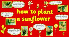 Great activity to get children thinking about how plants grow and change over time! Taken from Creative Curriculum through Science Preschool Displays, Classroom Displays, Art Classroom, Primary Science, Primary Teaching, Easy Science, How Plants Grow, Fast Growing Plants, Outdoor Learning