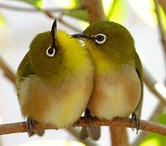 no title mi I Like Birds, Cute Birds, Pretty Birds, Little Birds, Beautiful Birds, Animals And Pets, Cute Animals, Australian Birds, White Eyes