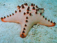 starfish | starfish often called sea stars are phylum echinoderms and belong to ...
