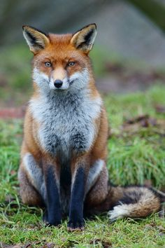 Red Fox, Nate and I buried one two days ago... so pretty :-(